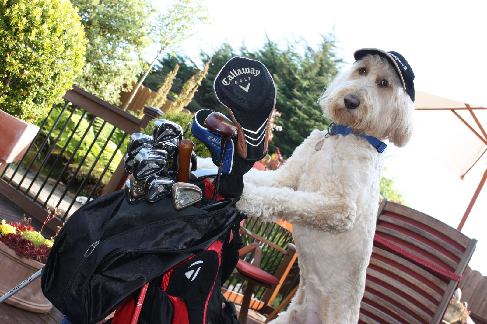 Dog Begging To Caddy For Mickelson In Match With Tiger