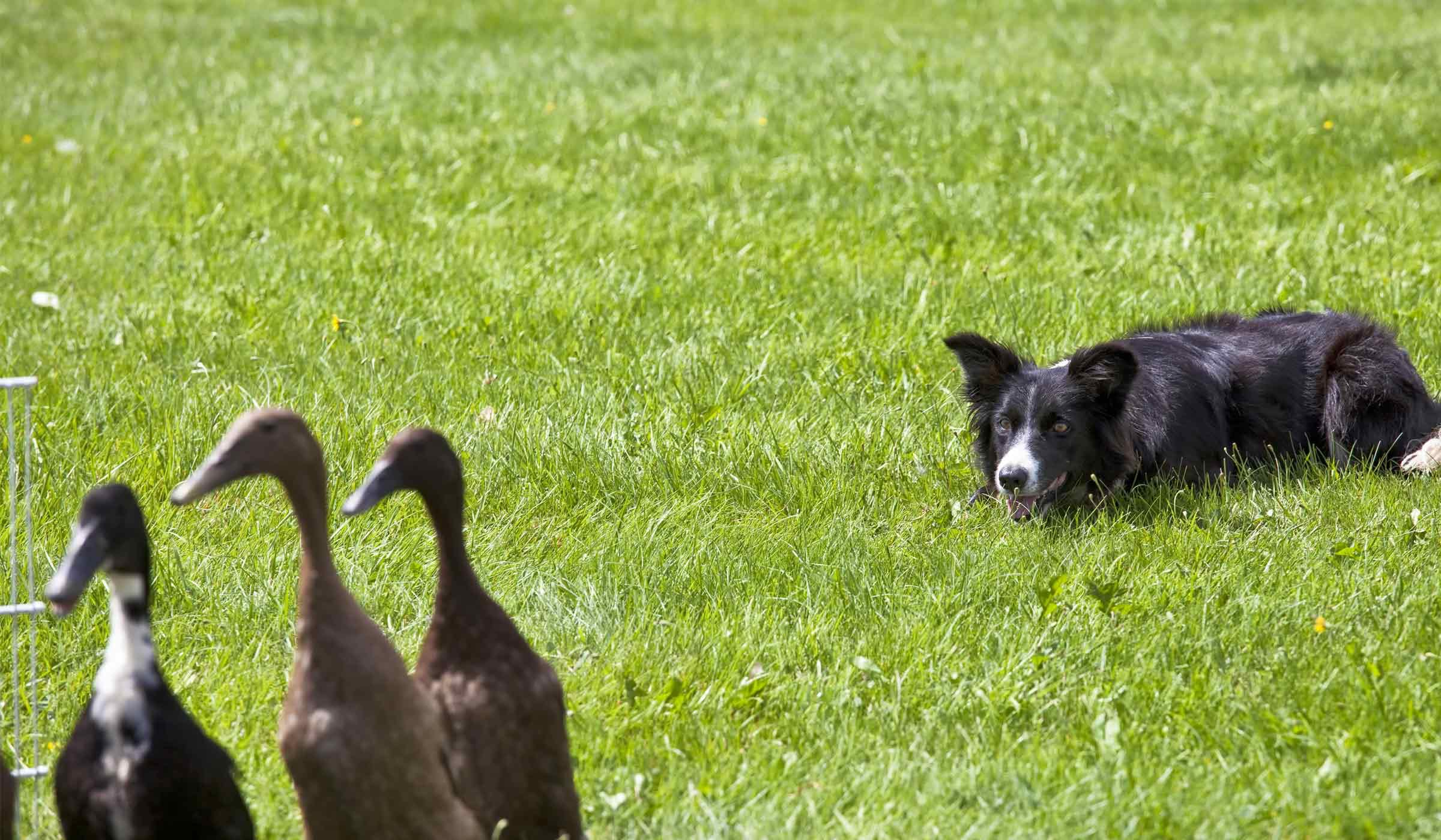 The Dog House Honors Geese-Chasing Border Collie